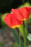 Red tulips Stock Photos