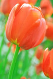 Red tulips. Stock Photo