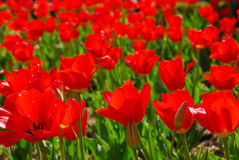 Free Red Tulips Stock Images - 750854