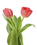 Red Tulips. A view of a beautiful pair of red tulips with green leaves, isolated on a white background royalty free stock images