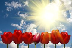 Red tulips. Sky and clouds Royalty Free Stock Photo