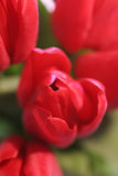 Red Tulips. Closeup of red tulip flowers in bloom Stock Photo