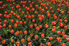 Red tulips from above Stock Photo