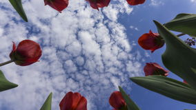 Red tulips against beautiful cloudy sky 4K time lapse, view from below. Clip stock footage
