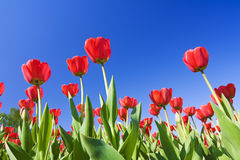 Red tulips against the blue sky Royalty Free Stock Photos