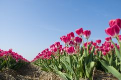 Red tulips against a blue sky Stock Photos