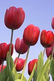 Red tulips against a blue sky. Red tulips in the countryside against a blue sky Stock Photo
