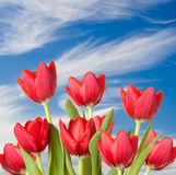 Red Tulips against blue sky with clouds Royalty Free Stock Image