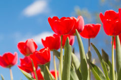Red tulips against a blue sky. Flowering red tulips. Tulips against the blue sky. The stalks of tulips Royalty Free Stock Photo