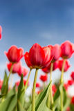 Red tulips against the blue sky in the nature Royalty Free Stock Photography