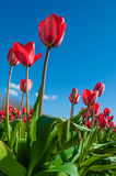 Red tulips against blue sky at the Skagit Tulip Festival Stock Image