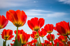 Red tulips against a blue sky. Spring floral background Royalty Free Stock Images