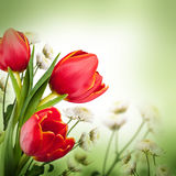 Red tulips against a dark background Royalty Free Stock Photo