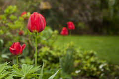 Red tulips against a lawn. Royalty Free Stock Image