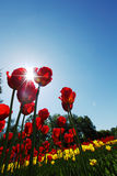 Red tulips against the sky Royalty Free Stock Images