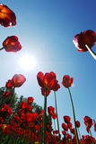 Red tulips against the sky Royalty Free Stock Photos