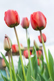 Red tulips against the sky Royalty Free Stock Image