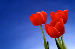 Red tulips against vivid blue sky Stock Image
