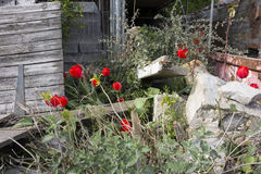 Red tulips amongst building rubble Stock Photos