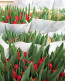 Red tulips in Amsterdam. Flower market - symbol of Amsterdam. Green tulip burgeons with some red blossoms Stock Photos