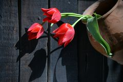 Red tulips in ancient clay pot. Three bright red tulips in an old clay pot, photographed in direct sunlight royalty free stock photos