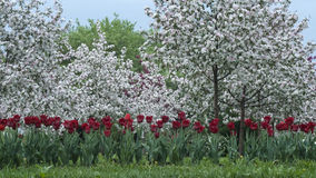 Red tulips and an apple orchard. In the background Stock Photos