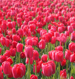 Red tulips in arboretum Royalty Free Stock Photo