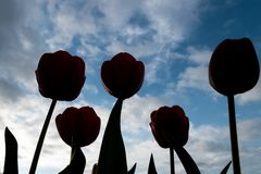 Red Tulips back-lit on a spring morning royalty free stock photos
