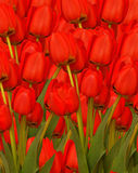 Red tulips background Royalty Free Stock Photo