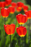 Red tulips background. Shallow focus depth on front tulips stock images