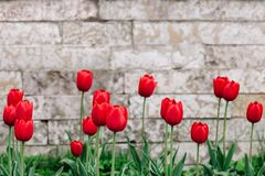 Red tulips on the background of antique brickwork with a place for text royalty free stock photos