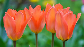 Red tulips background royalty free stock photos