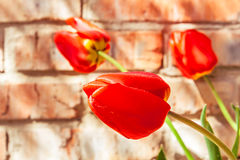 Red tulips on the background of a brick wall. Three red tulips on the background of a brick wall Royalty Free Stock Photos