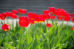Red tulips background. Group of red tulips in sunlight Stock Photos