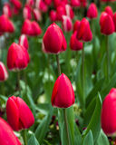 Red tulips background. Tulips in spring. Royalty Free Stock Photography