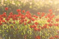 Red tulips backlit Royalty Free Stock Photo