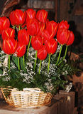 Red tulips in basket. Red tulip floral arrangement in wicker basket Stock Photos