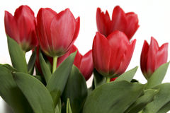 Red tulips. Beautiful bouquet of bright red tulips isolated on white Royalty Free Stock Photography