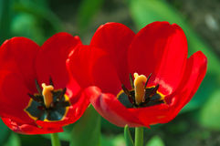 Red tulips. Beautiful bright red tulips on a background of green grass.Spring Stock Photo