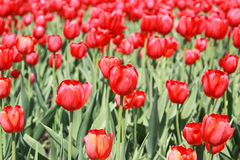 Red tulips. Beautiful red tulips in garden Stock Image