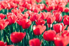 Red tulips in a beautiful sunlit spring garden. Plenty of soft focused sunlit red tulips in a beautiful spring garden Royalty Free Stock Photography