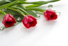 Red tulips. Beautiful  red tulips on white background Stock Image