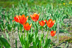 Red tulips Stock Images