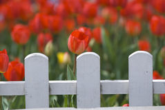 Red Tulips Behind White Fence Royalty Free Stock Photo