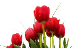 Red tulips from below Royalty Free Stock Image