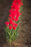 Red Tulips Bend Towards Sunlight Floral Agriculture Flowers Royalty Free Stock Image