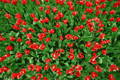 Red tulips Birds view Stock Images