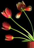 Red Tulips on Black Royalty Free Stock Photos