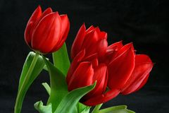Red Tulips Black Background. Close up red tulip bunch in bloom and green stem royalty free stock photos