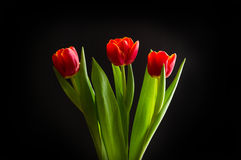 Red tulips on black background. Three beautiful red tulips on black background Stock Photo